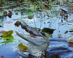 The Enigma Of The Black Caiman